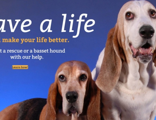 ABC Basset Hound Rescue of New York new website. nybasset.org